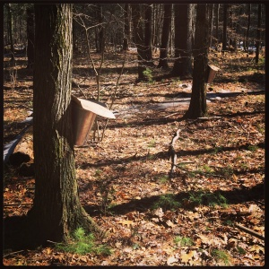 Afternoon maple tapping.
